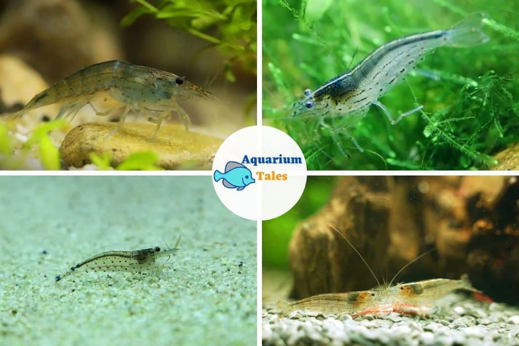 Amano Shrimp For 10 Gallon Aquarium
