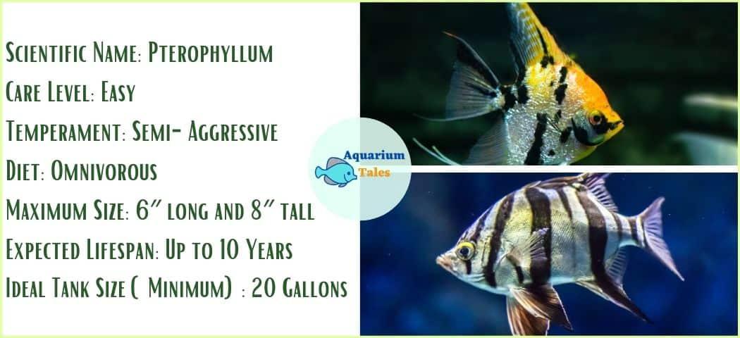 Angelfish - Freshwater Aquarium Fish