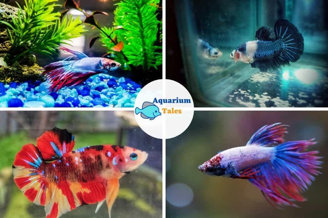Betta Fish For 10 Gallon Aquarium