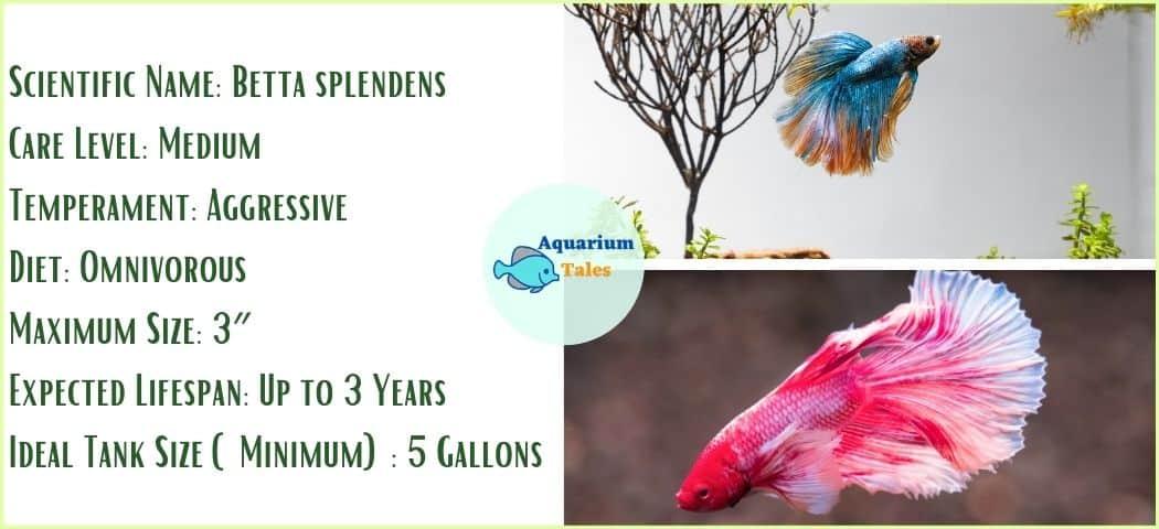 Betta - Freshwater Aquarium Fish