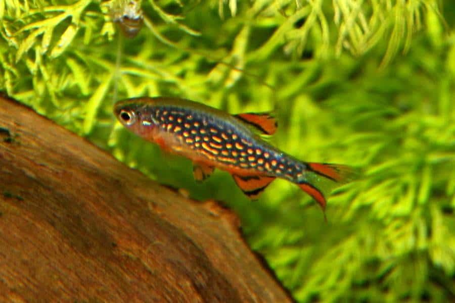 Celestial Pearl Danios Fish