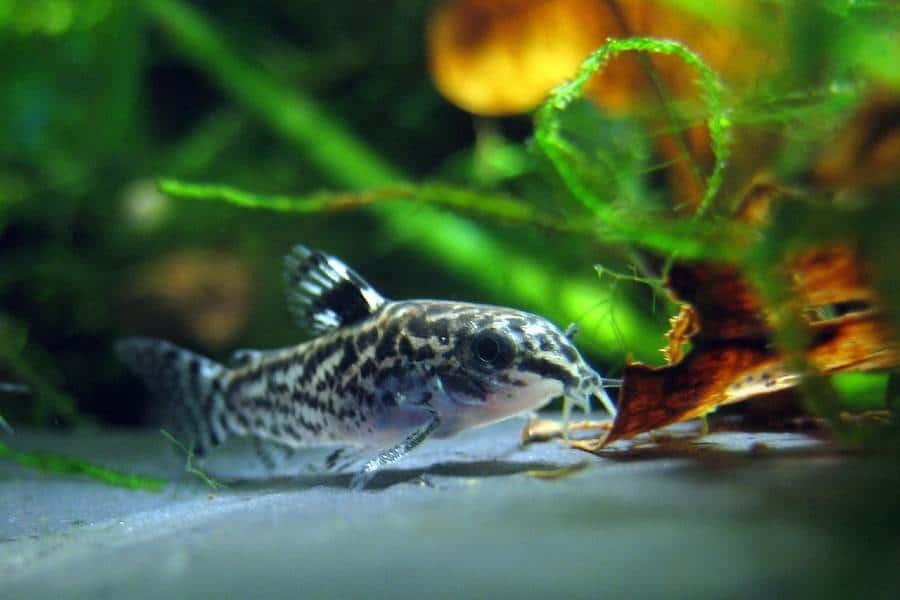 Cory Catfish (Corydoras)