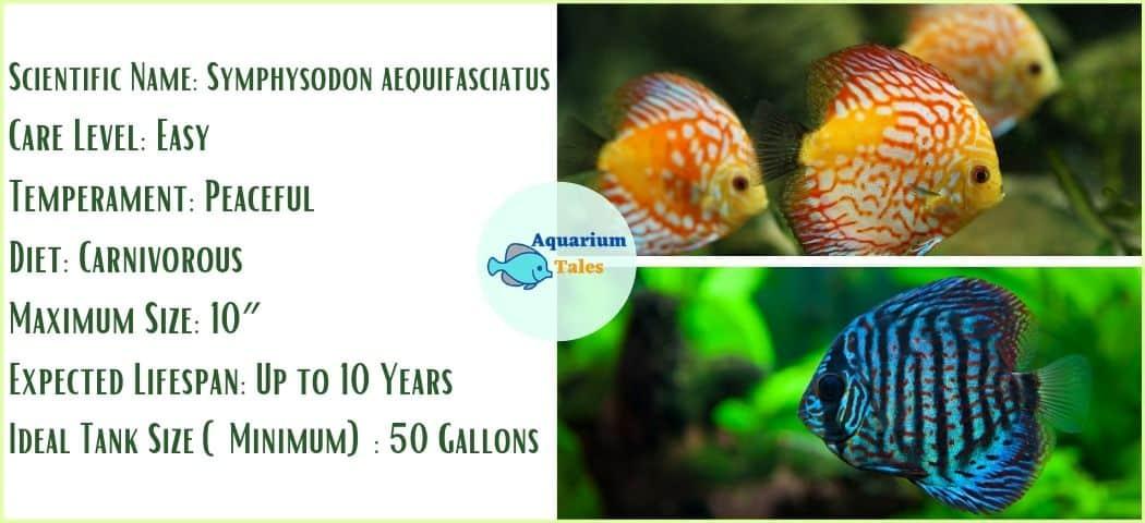 Discus Fish - Freshwater Aquarium Fish