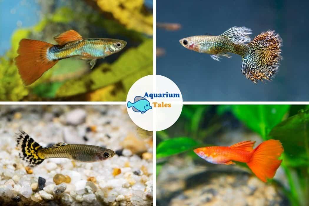 Guppy Fish For 10 Gallon Aquarium