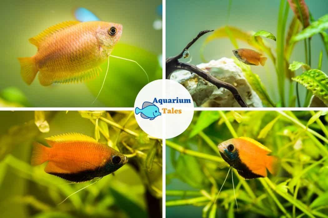 Honey Gourami For 10 Gallon Aquarium