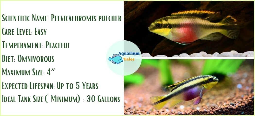 Kribensis- Freshwater Aquarium Fish