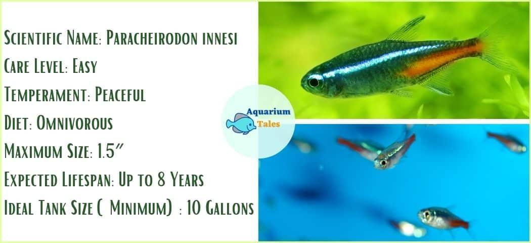 Neon Tetra - Freshwater Fish