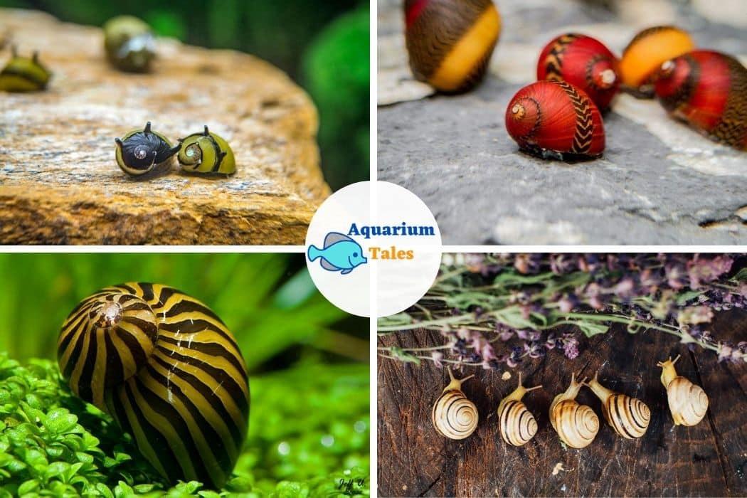 Nerite Snail For 10 Gallon Aquarium