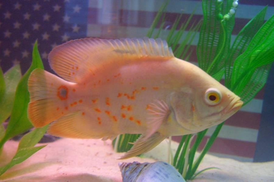 Oscar fish (Astronotus ocellatus)