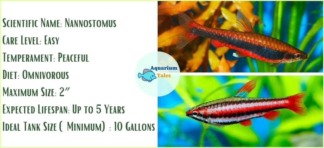 Pencilfish - Freshwater Aquarium Fish