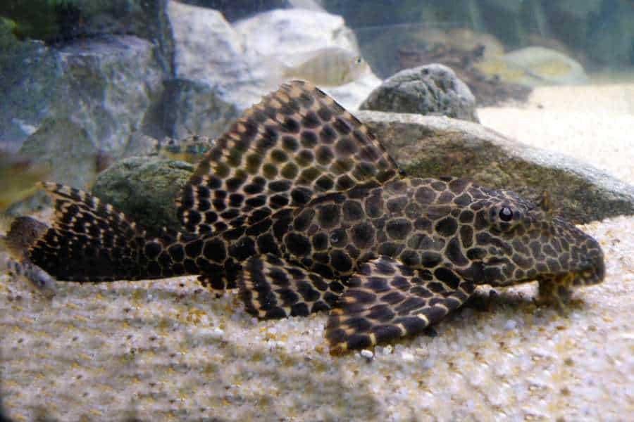 Plecostomus (Hypostomus plecostomus)