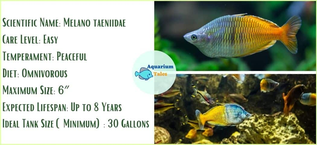 Rainbowfish - Freshwater Aquarium Fish