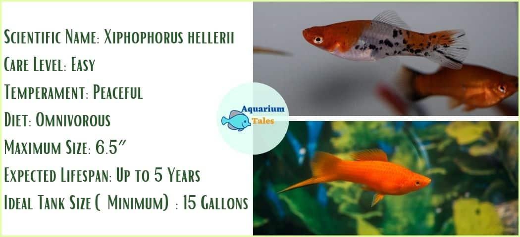 Swordtail - Freshwater Aquarium Fish