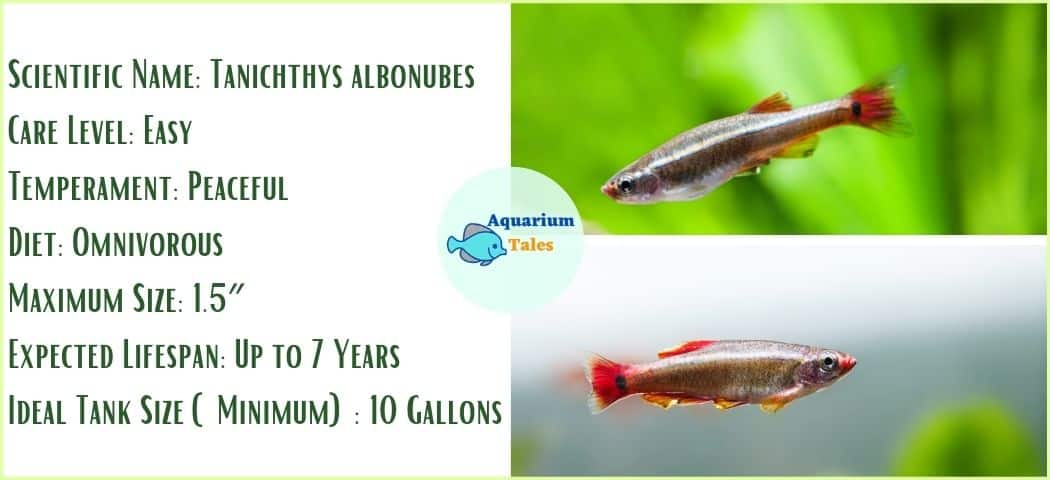 White Cloud Mountain Minnow- Freshwater Aquarium Fish