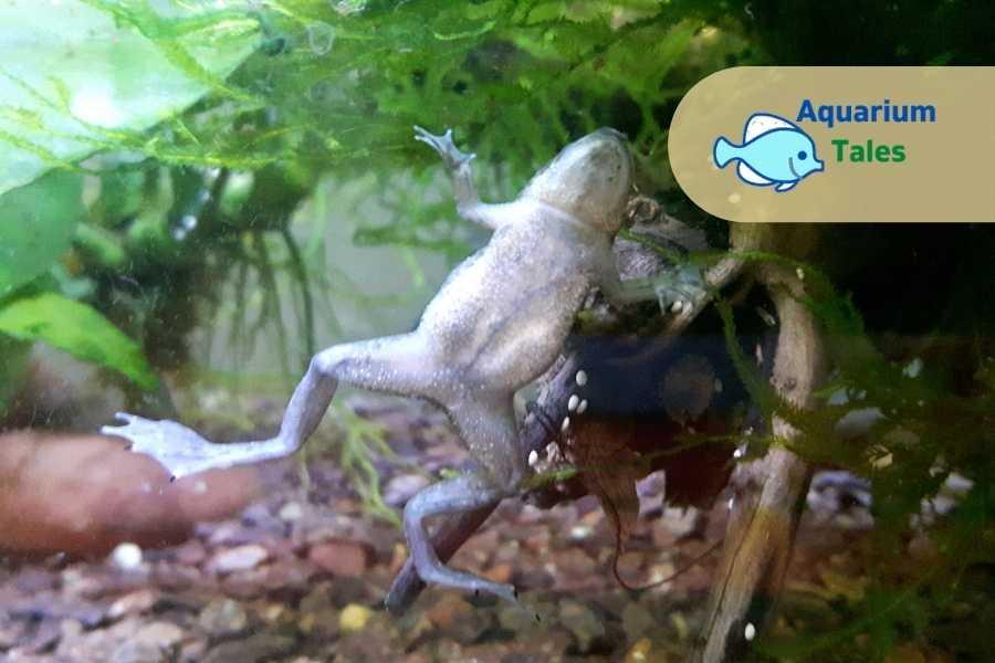 African Dwarf Frogs - In - Betta Biotope Tank