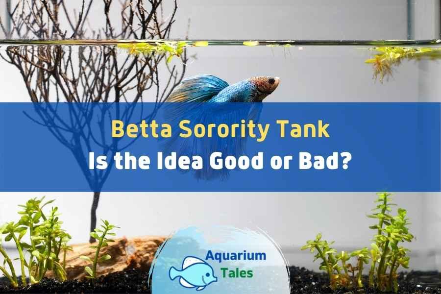 Betta Sorority Facts by Aquarium Tales