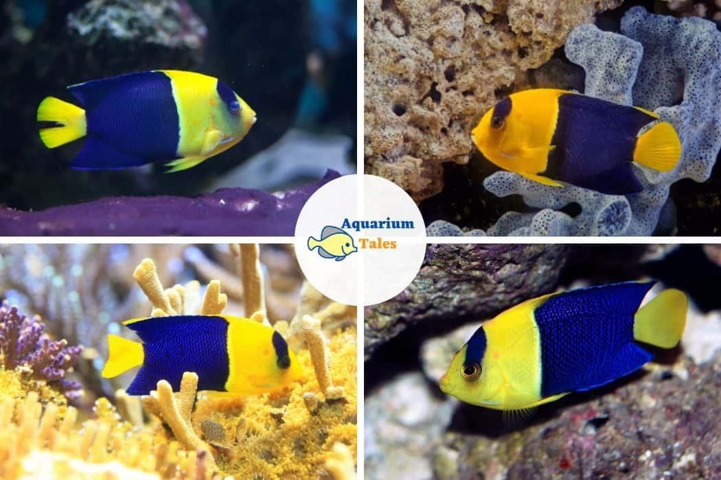 Bicolor Angelfish - Best Saltwater Aquarium Fish