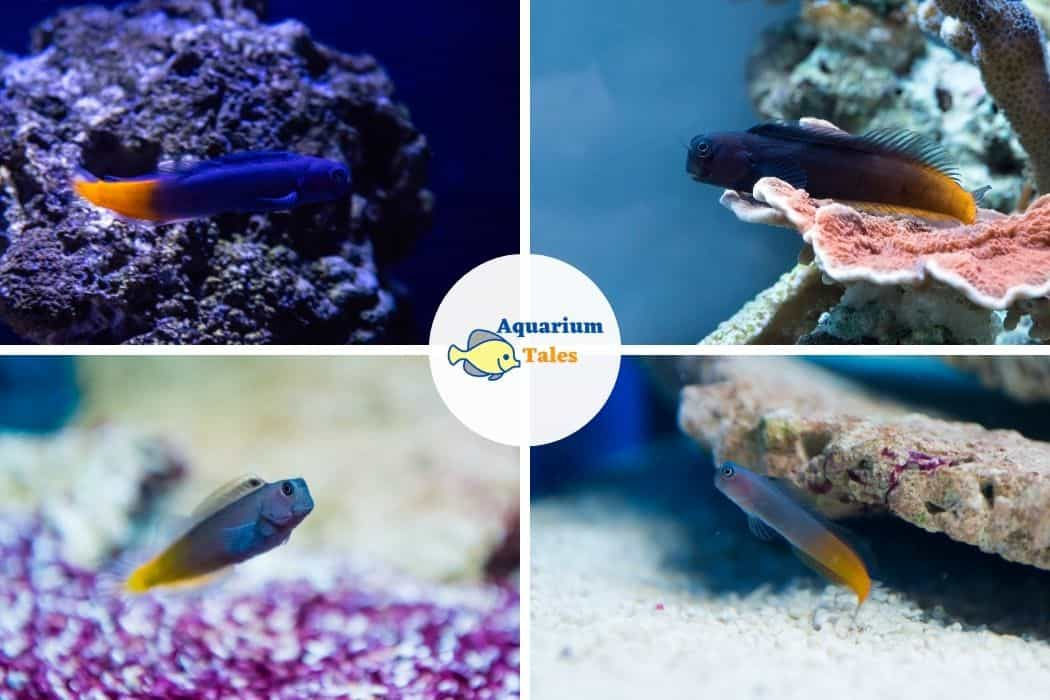 Bicolor Blenny - Best Saltwater Aquarium Fish