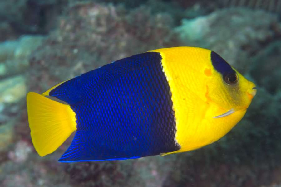 Bicolor_angelfish aquarium Tales