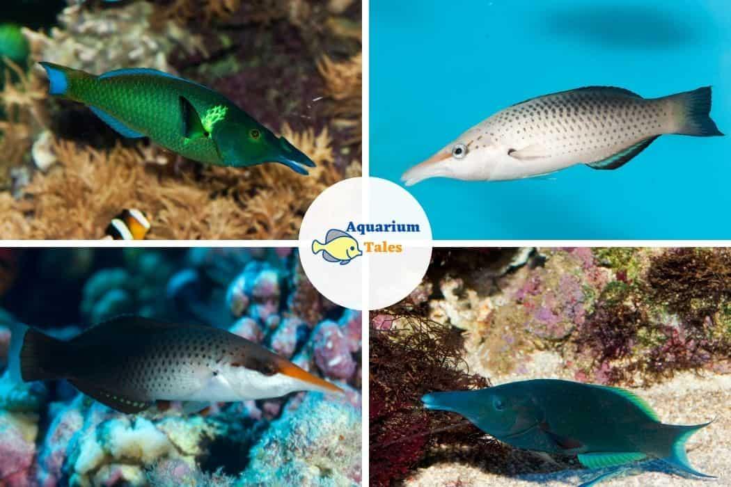 Bird Wrasse - Best Saltwater Aquarium Fish