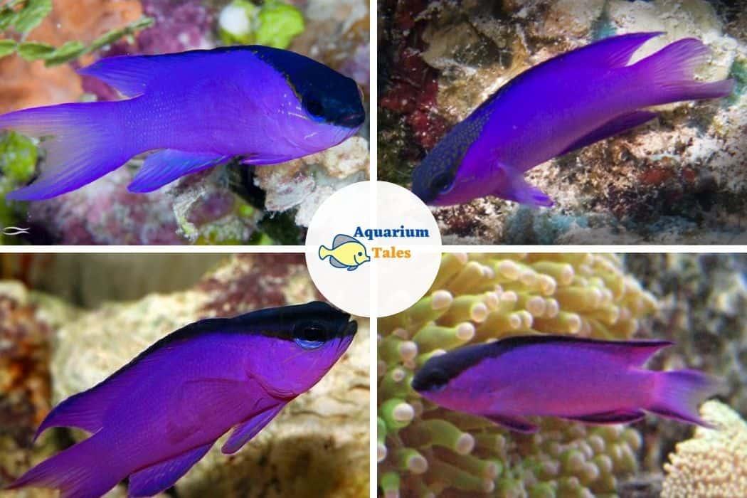 Blackcap Basslet - Best Saltwater Aquarium Fish