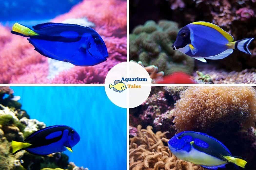 Blue Tang - Best Saltwater Aquarium Fish