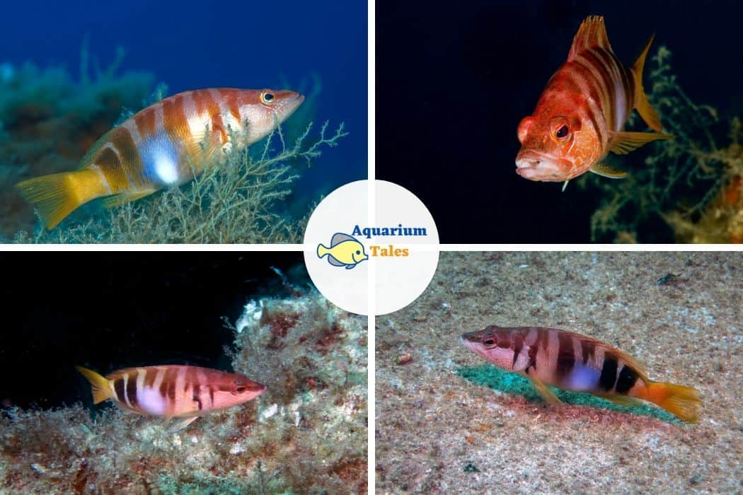 Chalk Bass - Best Saltwater Aquarium Fish