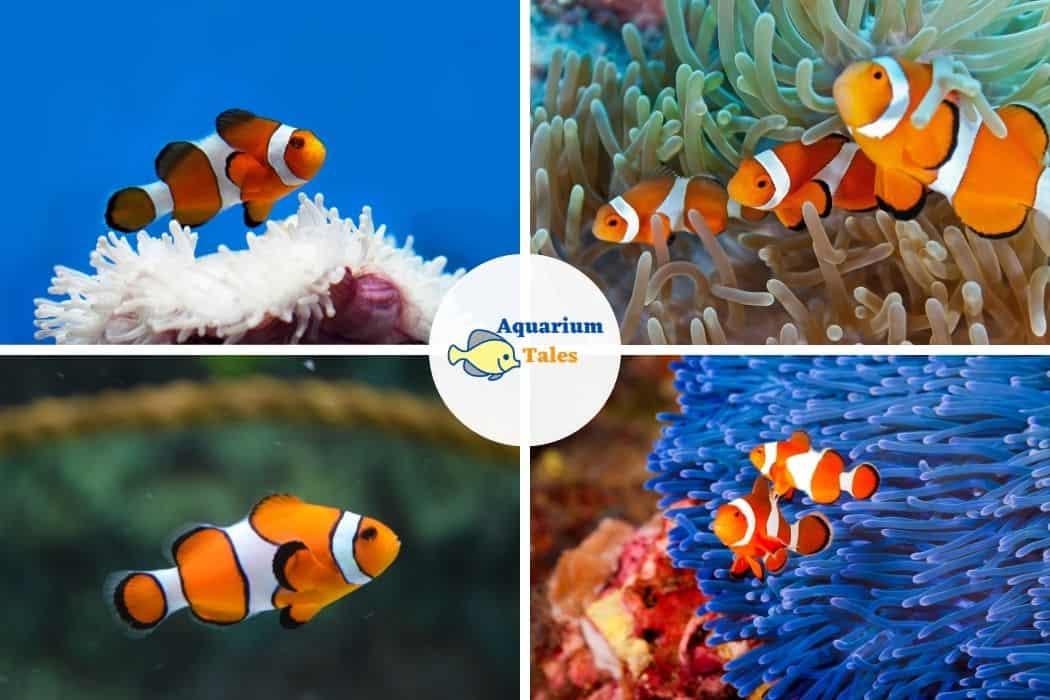 Clownfish - Best Saltwater Aquarium Fish