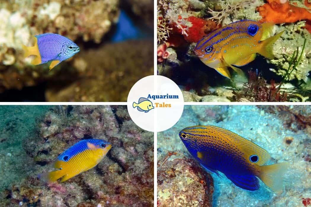 Cocoa Damselfish - Best Saltwater Aquarium Fish