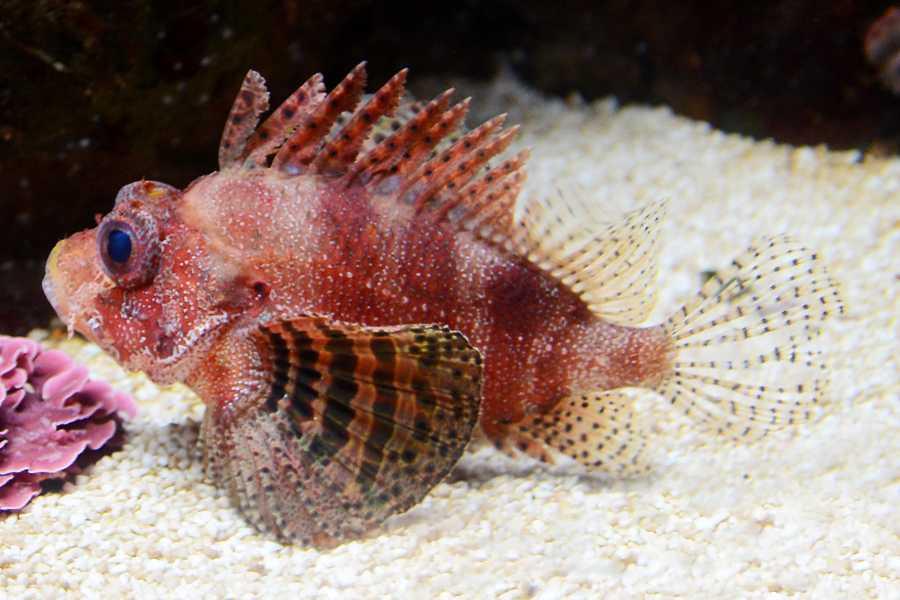 Dwarf Lionfish Aquarium Tales
