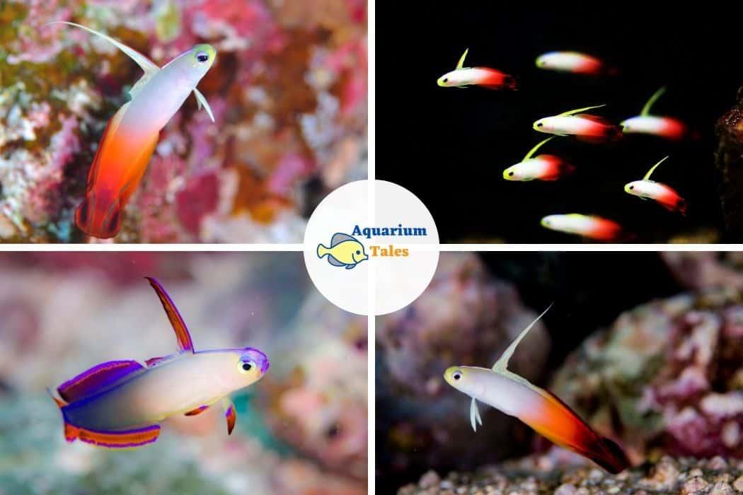 Fire Goby - Best Saltwater Aquarium Fish