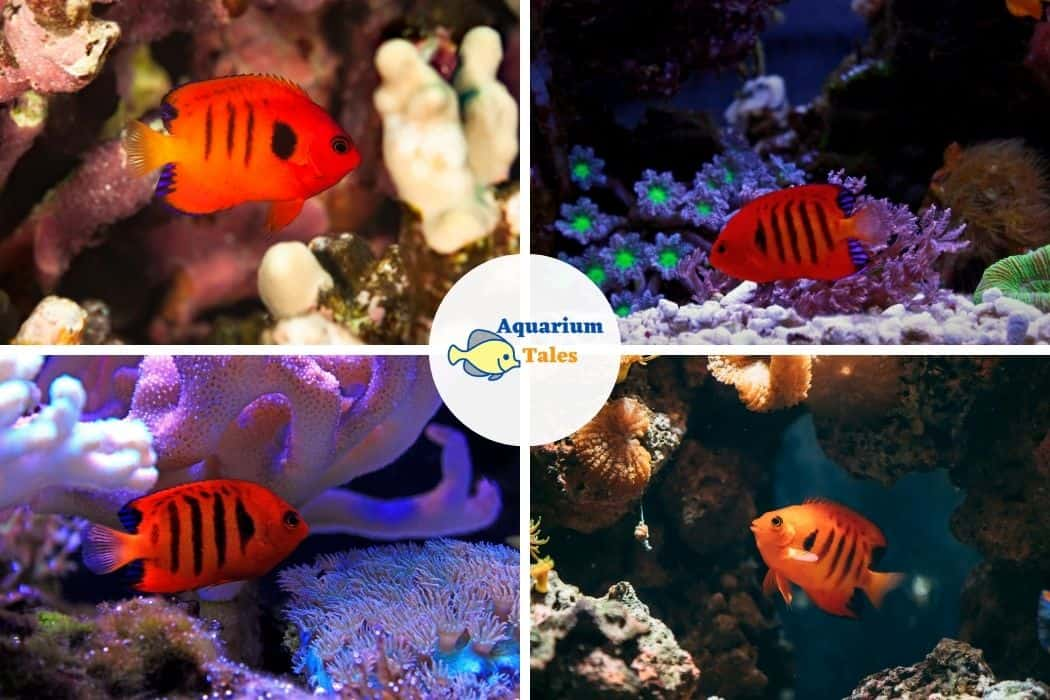 Flame Angelfish - Best Saltwater Aquarium Fish