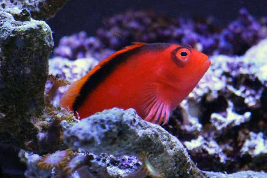 Flame Hawkfish Aquarium Tales