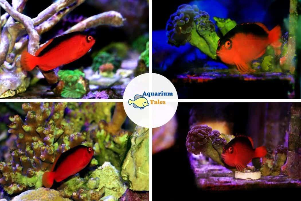 Flame Hawkfish - Best Saltwater Aquarium Fish