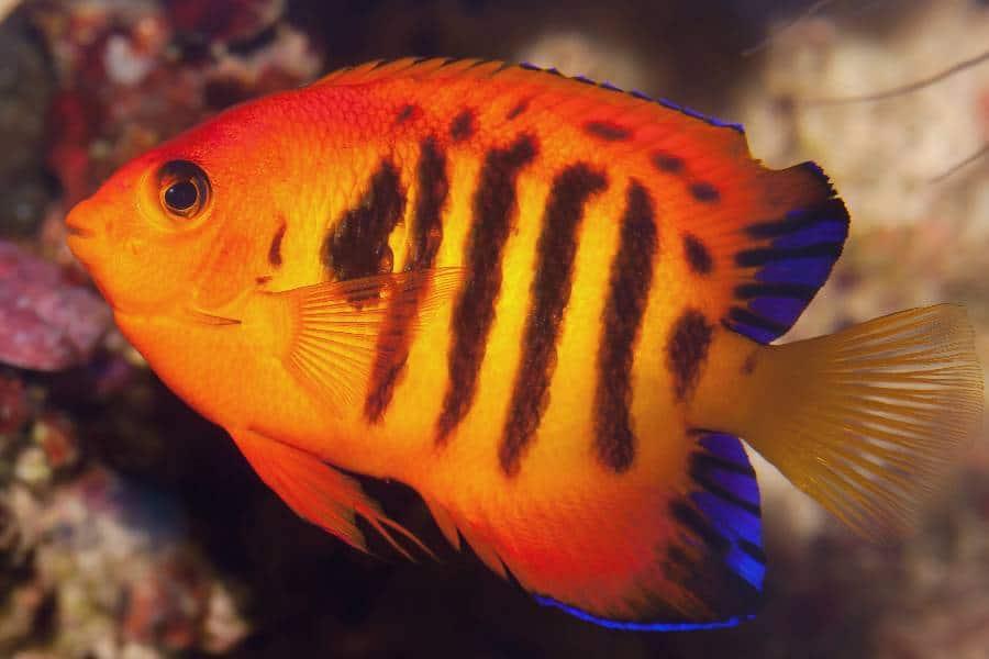 Flame_angelfish