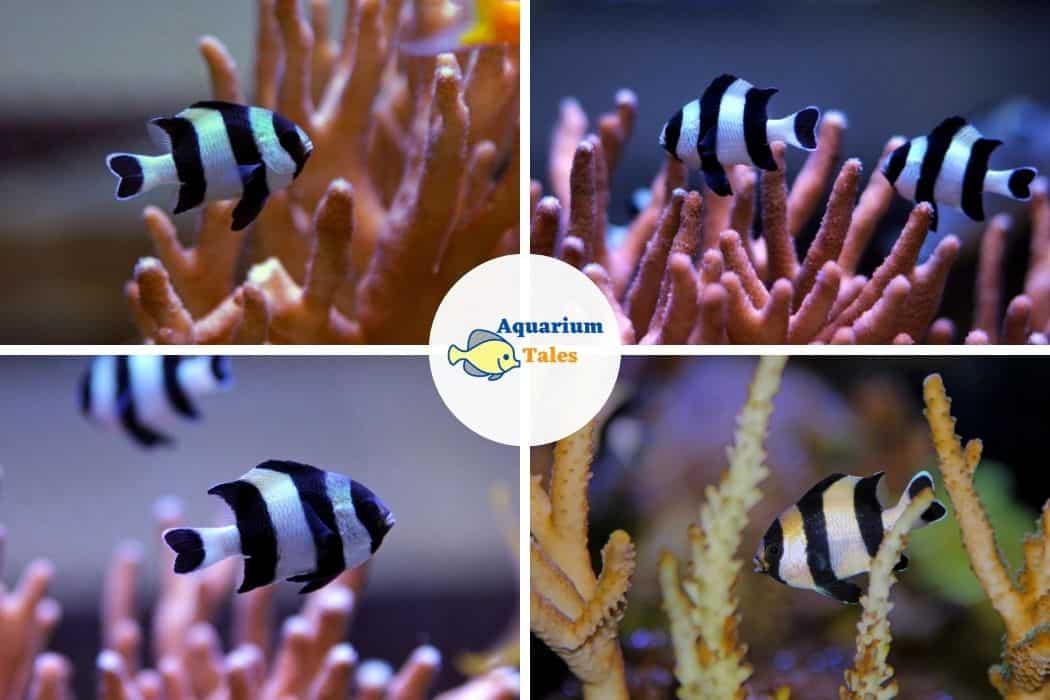 Four Stripe Damselfish - Best Saltwater Aquarium Fish