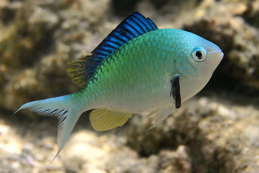 Green Chromis Aquarium Tales