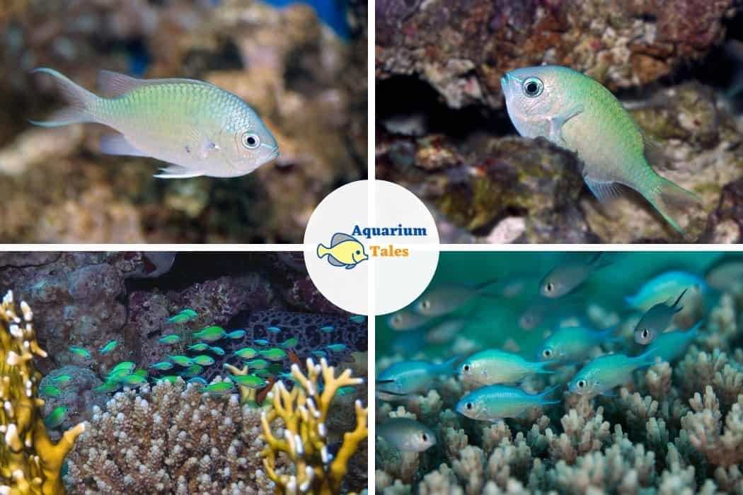 Green Chromis - Best Saltwater Aquarium Fish