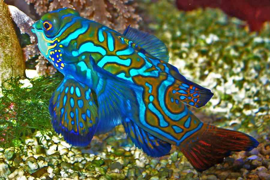 Mandarinfish Aquarium Tales
