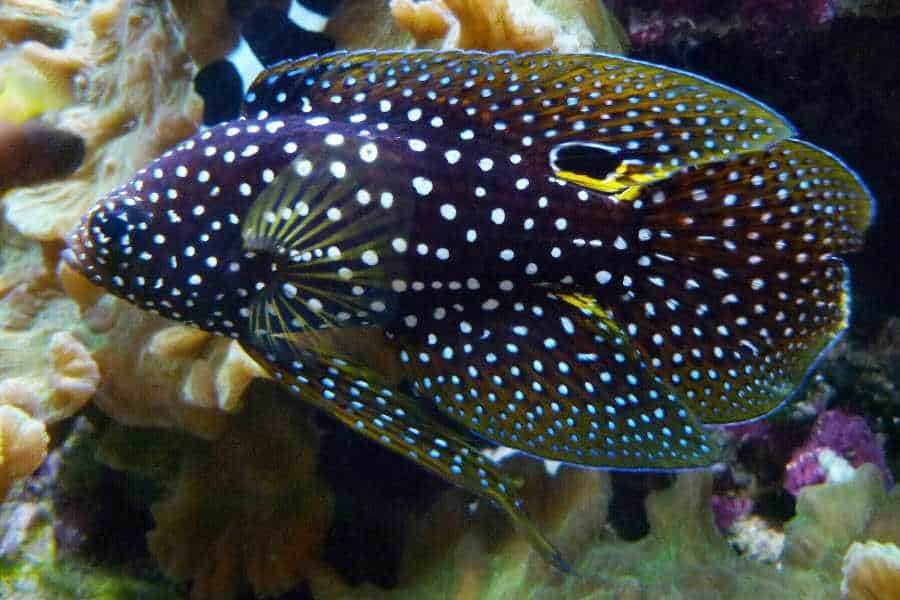 Marine Betta aquarium tales