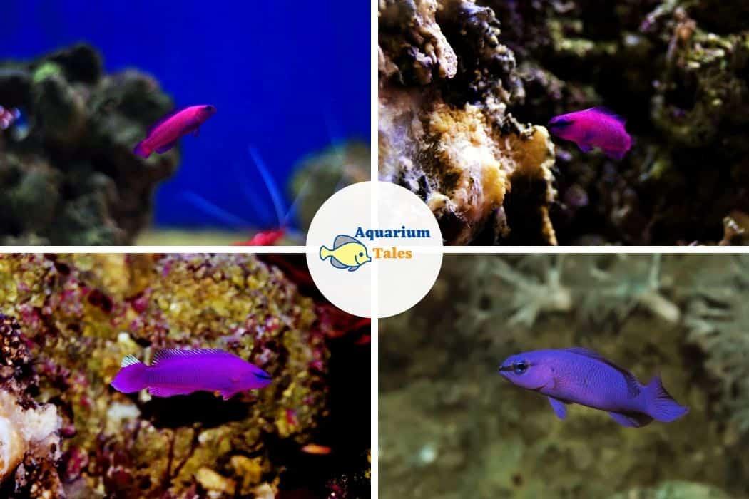 Orchid Dottyback - Best Saltwater Aquarium Fish