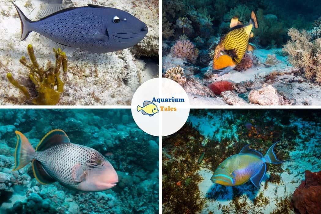 Sargassum Triggerfish - Best Saltwater Aquarium Fish
