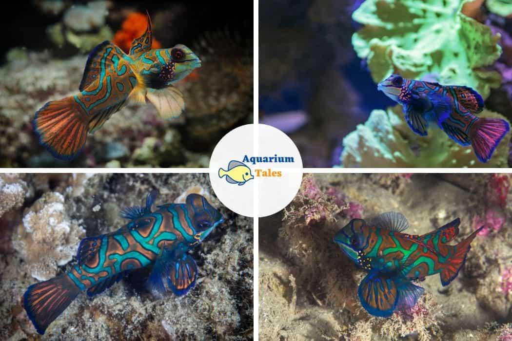 Striped Mandarinfish - Best Saltwater Aquarium Fish