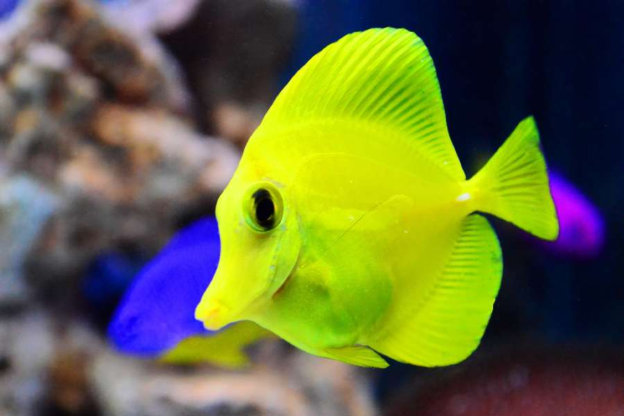 Yellow Tang Aquarium Tales