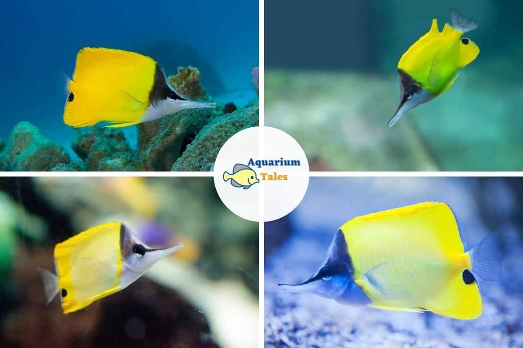 Yellow Longnose Butterflyfish - Best Saltwater Aquarium Fish