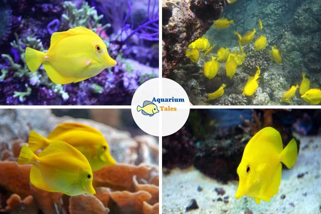 Yellow Tang - Best Saltwater Aquarium Fish