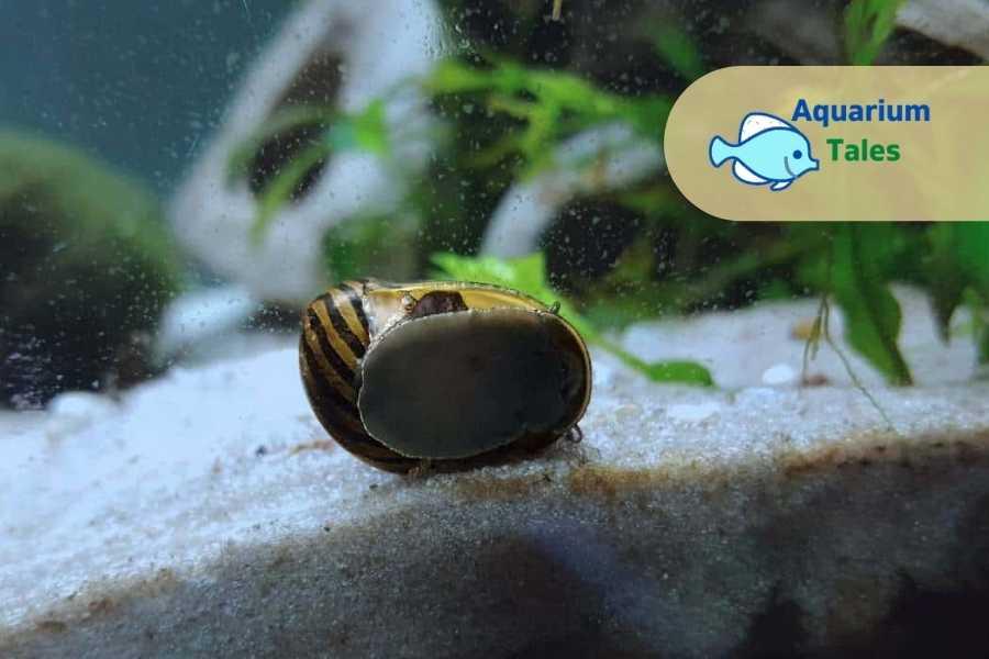 Zebra Snails - In - Betta Biotope Tank