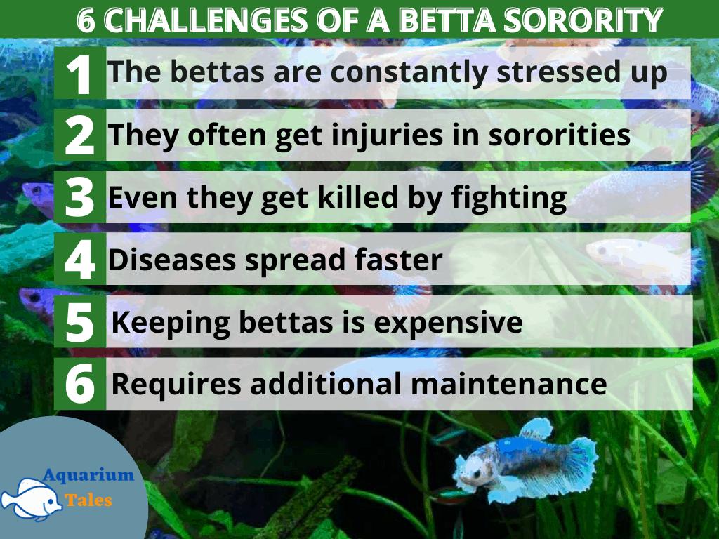 betta sorority tank 6 challenges
