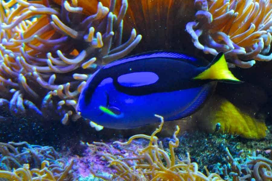 blue-tang aquarium tales