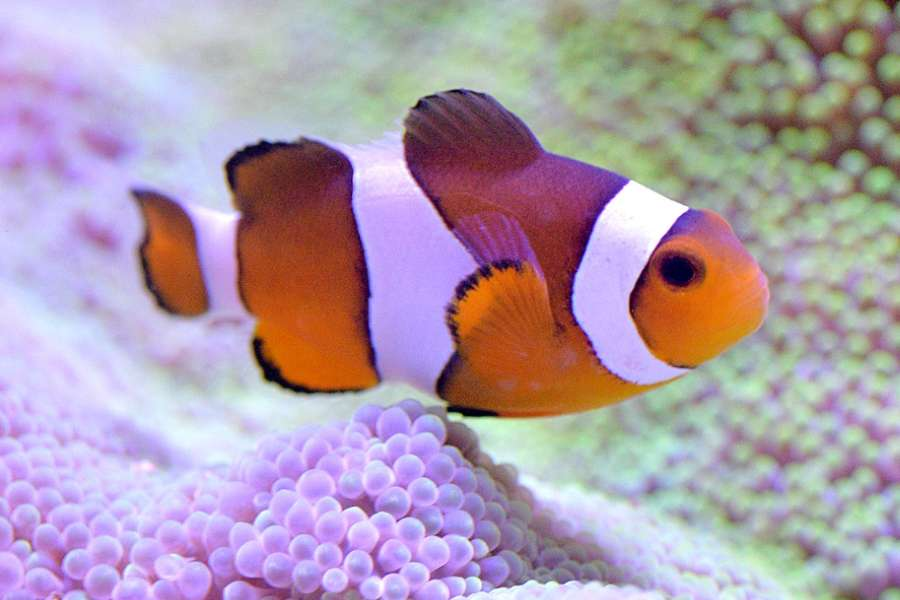 clownfish-aquariuamtales